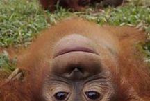 orangutan ve maymunlar