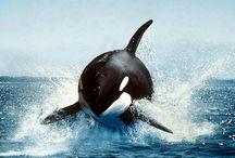 Killer Whales / by Teacup Tutu Charm