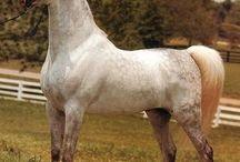 Arabian Horse Legends 1 - Straight Egyptians / by Alison Bucks