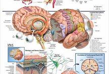 Hjernen vår.