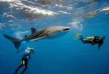 Whale Shark: the Biggest Fish in the World