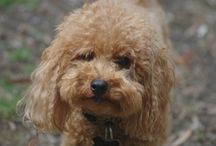 Olle / Pics of our much loved poodle Ollie. Also known as Schmollie, Chicken Nugget, Mr Ollie and even Mr Fluffy Pants
