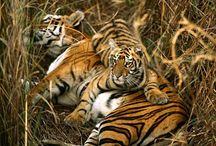 Wild Hearts / All about Tigers and big cats (the most magnificent creatures in earth. ) / by Tarika Francis