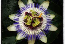 時計草/Passion Flower