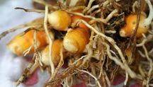curcuma gingembre  plantes