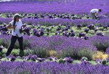 Ich liebe Lavendel!