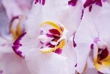 orchidea / phaleonopsis