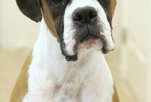 Boxer dogs / Companions