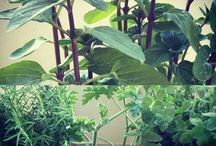 spicy aromatic plants