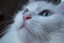 Fluffy,Angora / Turkish Angora CAT