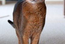 "Abyssinian Cats / The Abyssinian /æbᵻˈsɪniən/ is a breed of domestic shorthaired cat with a distinctive ""ticked"" tabby coat, in which individual hairs are banded with different colors. Scientific name: Felis catus Higher classification: Cat Origin: Egypt Rank: Breed"
