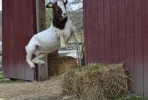Goats / by Jennifer Barnes