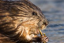 Muskrats and Nutria ~ Books, Crafts, Photos, Toys / Inspiration from Jerry Muskrat, character in the Thornton W. Burgess books.