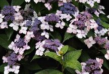 Plantas Sombra Calor Perene