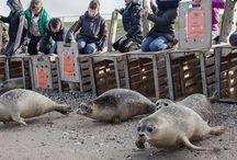 Vrijlatingen / Het moment waar we het allemaal voor doen in Zeehondencentrum Pieterburen: Zeehonden vrijlaten die weer gezond en sterk genoeg zijn om terug naar zee te mogen.