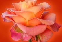 Rose ⓛ ⓞ ⓥ ⓔ