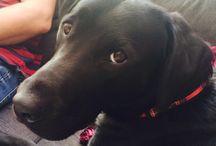 Mint! / Random pics of our pet Labrador, Mint.