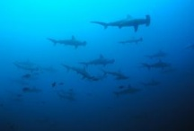 Scuba Diving Inspiration / Find the best places on the planet to #scuba #dive.  #Shark #diving South #Africa is one of my favorite places: http://monkeysandmountains.com/shark-diving-in-south-africa / by Laurel Robbins: Monkeys and Mountains Adventure Travel Blog