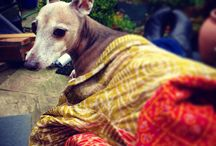 Roman dogs / Mostly the requisite Italian Greyhounds (IGs)