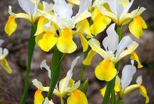Flores~Iris.