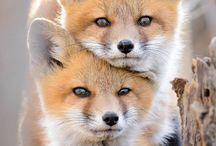 Favoritbild rävar