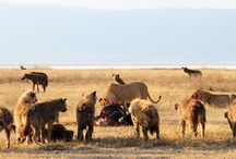 Ngorongoro Crater lioness attacked / Ngorongoro Crater when two lioness had just killed a wildebeest