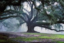 Ancient Oaks around the world / Where can you find ancient oaks - of many kinds - around the world?  Find out here.