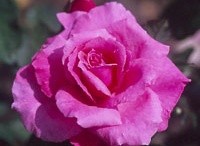 roses / by Catherine