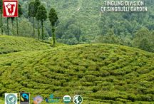 Indian Tea Gardens / The slopes of Indian tea gardens especially in Darjeeling and Assam are prepared to manufacture a large variety of tea having different flavours mand aroma giving a wide range of choice.
