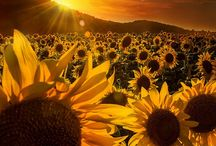 SUNFLOWERS! / I love sunflowers ! / by 🌻Karen Arriaga🌻