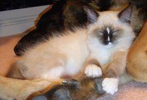 Ragdoll Cat Questions