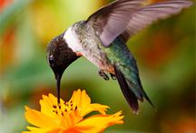 All About Hummingbirds / Hummingbirds 101. How to attract, feed, and capture those quick flying birds in a picture.