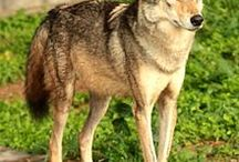 Indian Wolf (Canis Lupus Pallipes) / News, information, status and research about the Indian Wolf, subspecies of Gray Wolf.
