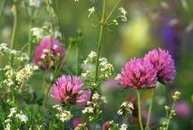 łąka, polne kwiaty