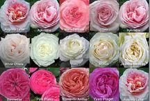 Garden roses / Types of garden rose