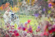 Czechoslovakian wolfdog / My beautiful Czechoslovakian wolfdog Angas, I'll keep him safe~He keep me wild