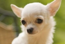 Chihuahua, Yep! / chihuahua dress up, chihuahua in fashion, chihuahua stories