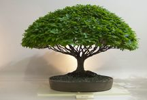 Broom style bonsai