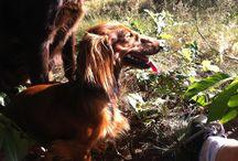 Teckels & Honden