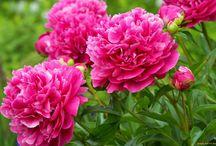 дача цветы