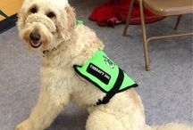 Therapy Dog Training / Part of GDU's mission is to train therapy dogs.
