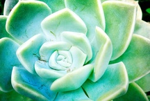 Fat plants / Cactus and fat plants