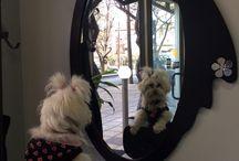 Fluffy ...the crazy dog!!!! / Fluffy ....Maltese dog!!!!