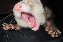 Ferrets / ferrets, Frettchen, furetti