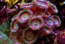 Corals, anemone, and macro algae / Corals, anemone and macro algae are the marine equivalent to plants in a tropical aquarium. Glorious and stunning arrays of colour for the reef aquarium.