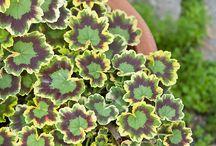 Geraniums I love