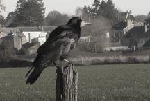 Corbeau freux - Rook - Corvus frugilegus / Pics by Thomas Humbert. Dossier contenant mes photos.