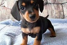 I'm thinking about getting a dachsund / by Diane Volkers