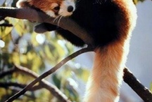 Red Pandas! My new favorite animals! / by Korey Cote
