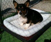 Cardigan Welsh Corgi  / Cardigan Welsh Corgi's loving their Kuranda beds! / by Kuranda Dog Beds